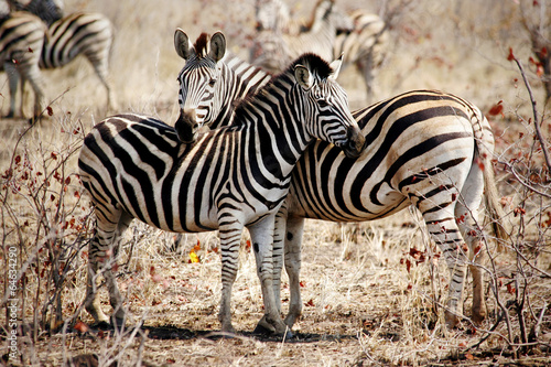 Papiers peints Zebra Two Zebras standing side by side