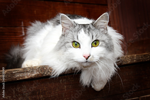 Photographie  cat Siberian breed, grey and white colors of wool.