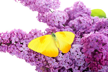 Panel SzklanyBeautiful butterfly sitting on lilac flowers, isolated on white