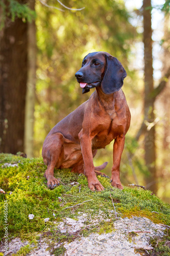 Photo Bavarian Mountain Hound