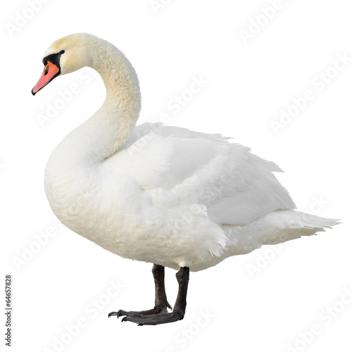 Mute Swan standing. Isolated on white background.