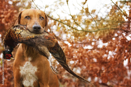 Poster Chasse Sitting Ridgeback holds in its mouth pheasant