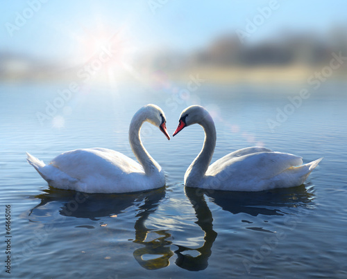 Swans on blue lake water in sunny day