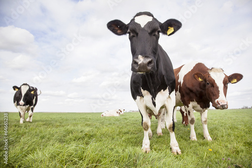 Photo Stands Cow red and black cows in dutch meadow