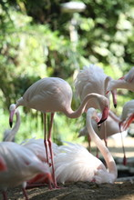 Group Of Greater Flamingo.