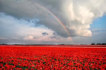 fototapeta tęcza nad polem tulipanów