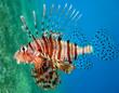 Feuerfisch rotes Meer
