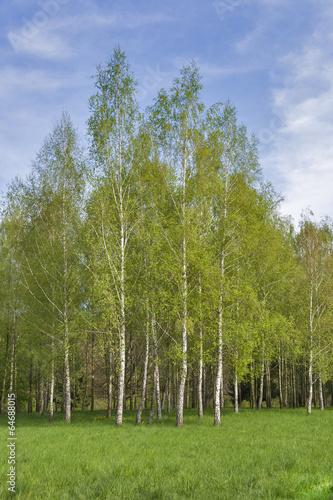 Papiers peints Bosquet de bouleaux lawn with birch grove