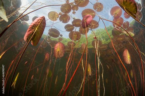 Fotografie, Obraz  Lily Pads in Pond 2