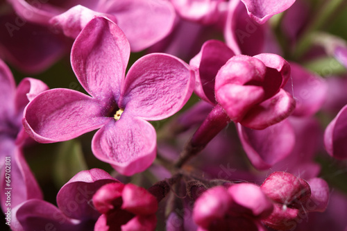 Fotobehang Macro pink lilac blooming with flowers and buds macro