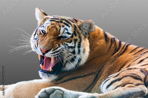 Obraz Warczący tygrys - fototapety do salonu