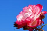 Róża na tle nieba