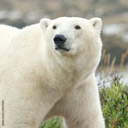 Curious Polar Bear Portrait