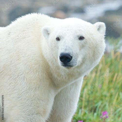 Closeup portrait of a curious Polar Bear