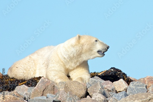 In de dag Ijsbeer Polar Bear sniffing the air