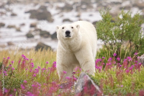Foto op Canvas Ijsbeer Polar Bear and Fireweed 1