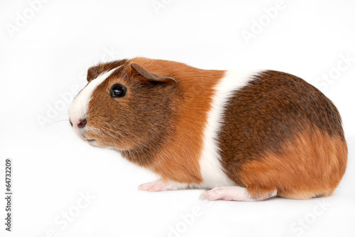Fotografía  Brown, white and orange guinea pig on a white background.