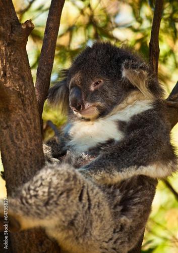 Poster Oceanië Koala