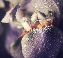 Spring Iris Flower Leafs Closeup With Rain Drops