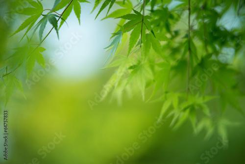 Fototapety, obrazy: 新緑のモミジ