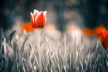 Red Tulip Flower At Spring Gar...