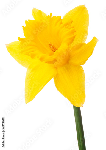 Papiers peints Narcisse Daffodil flower or narcissus isolated on white background cutout