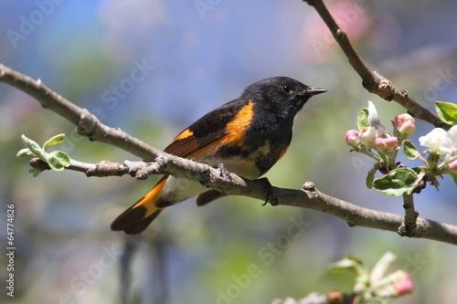 Sticker - American Redstart Warbler