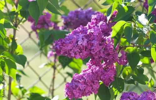 Fotobehang Lilac blooming lilacs