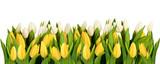 Fototapeta Tulipany - line of isolated yellow and white tulips
