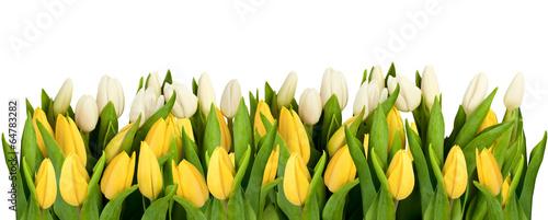 linia-na-bialym-tle-zolte-i-biale-tulipany