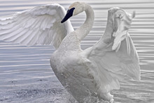 Trumpeter Swan Flapping And Stretching Her Beautiful Wings