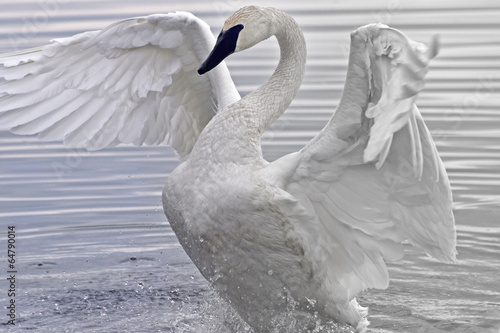 Papiers peints Cygne Trumpeter Swan flapping and stretching her beautiful wings