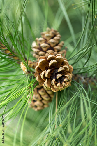 close up of pine cone in garden Canvas Print