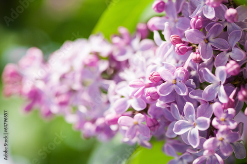 In de dag Lilac Lilac flowers