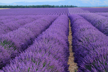 Fototapeta na wymiar valensole provenza francia campi di lavanda fiorita