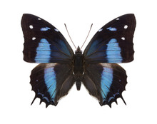 Tropical Butterflies Collection Baeotus Aeilus