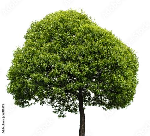 Vászonkép Green Tree Isolated on White Background