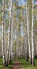 Fototapeta Brzoza Pathway in the sunny evening birch forest with first spring gree