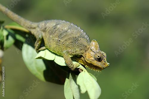 Poster Chamaleon Chameleon