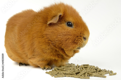 Fotografie, Obraz  US-teddy Meerschweinchen über Futterpellets