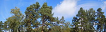 Panorama Of Tree Tops