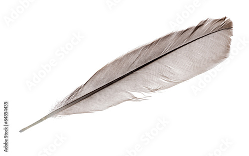 dark grey straight rooster feather on white