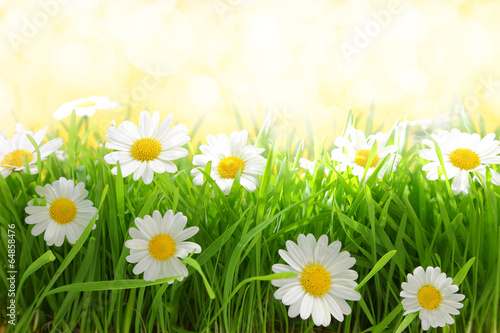Foto op Canvas Madeliefjes White flowers with grassy field on sunshine