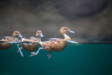 Ducks Swimming In The Water