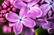 canvas print picture - Closeup of Lilac flowers