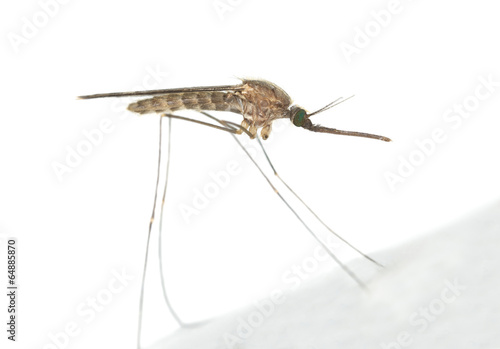 Mosquito Anopheles maculipennis resting on surface Canvas Print