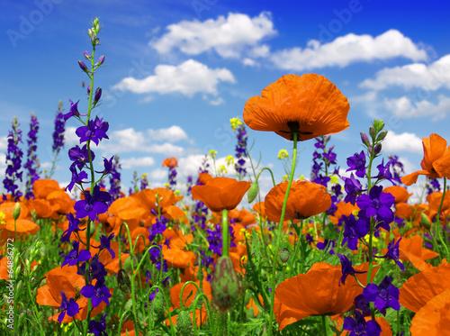 Obraz poppies blooming in the wild meadow - fototapety do salonu