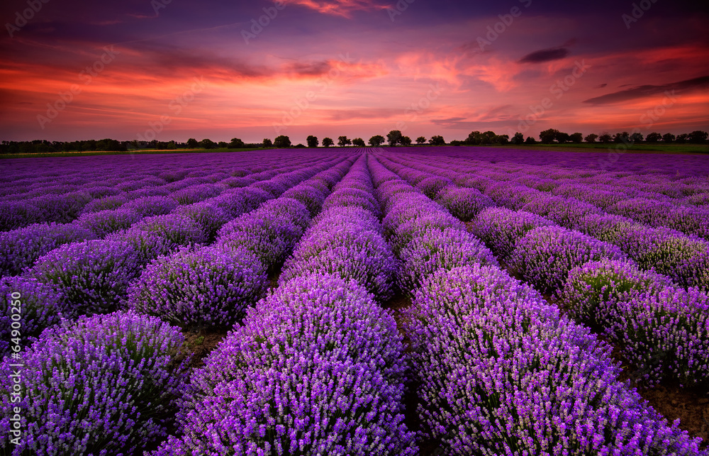 Fototapeta Stunning landscape with lavender field at sunset