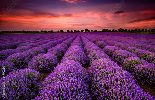 Aluminium Prints Violet Stunning landscape with lavender field at sunset