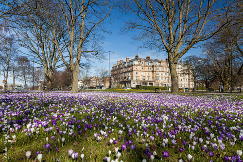 Keuken foto achterwand Krokussen Crocuses on Harrogate Stray